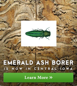 Emerald Ash Borer is now in Central Iowa